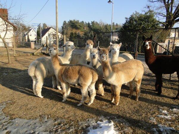 Alpakas in Schenkendöbern